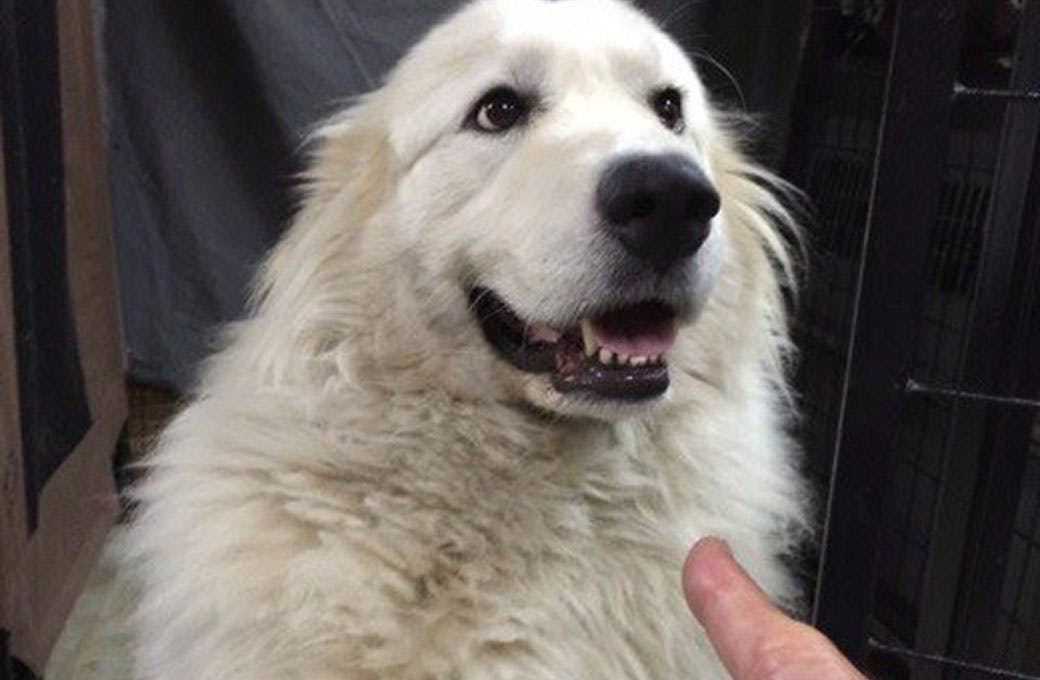 West Coast Great Pyrenees Foundation