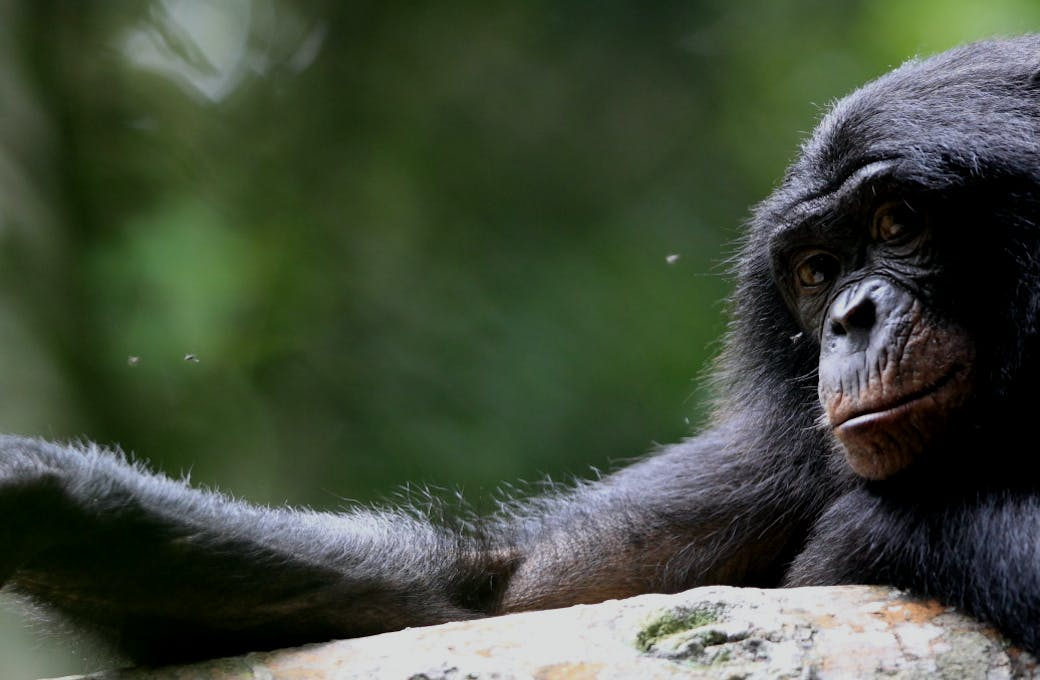 Bonobo Conservation Initiative
