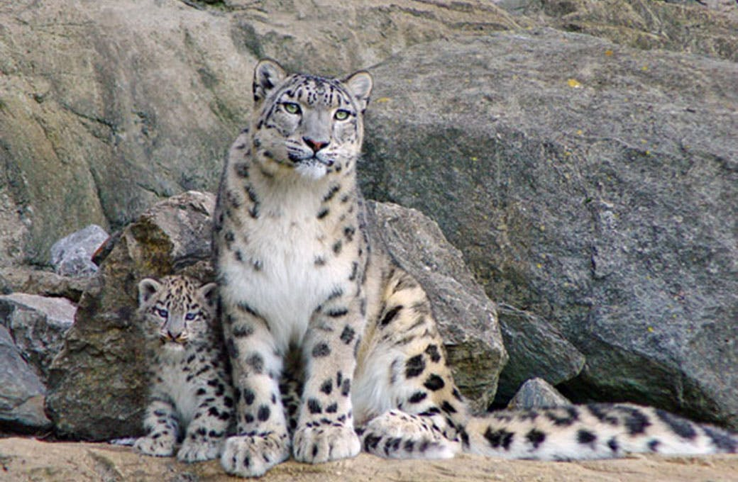 International Snow Leopard Trust